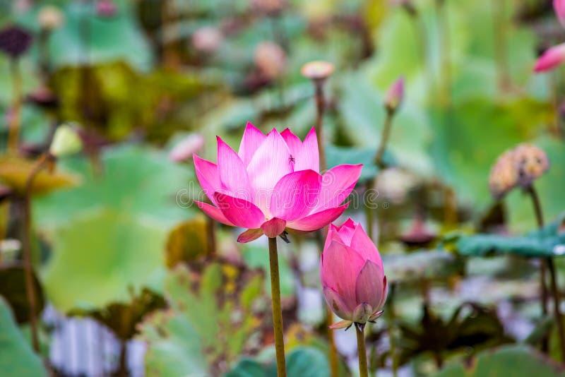 Roze lotusbloembloemen op vijvergebied royalty-vrije stock afbeelding