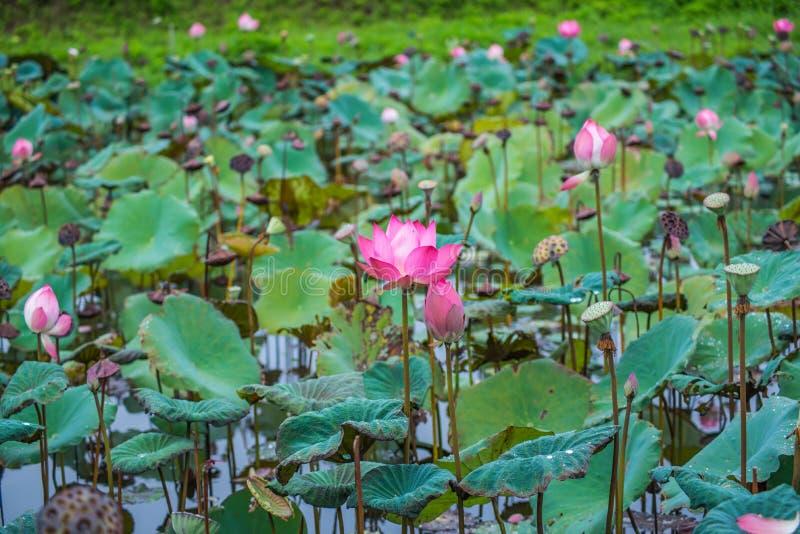 Roze lotusbloembloemen op vijvergebied royalty-vrije stock foto's