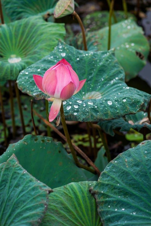 Roze lotusbloembloemen op vijvergebied stock foto