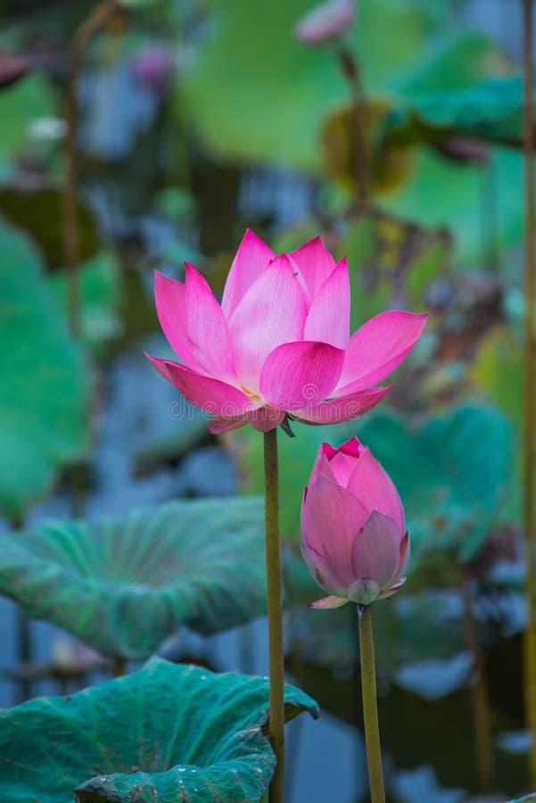 Roze lotusbloembloemen op vijvergebied bij natuurlijk royalty-vrije stock foto's