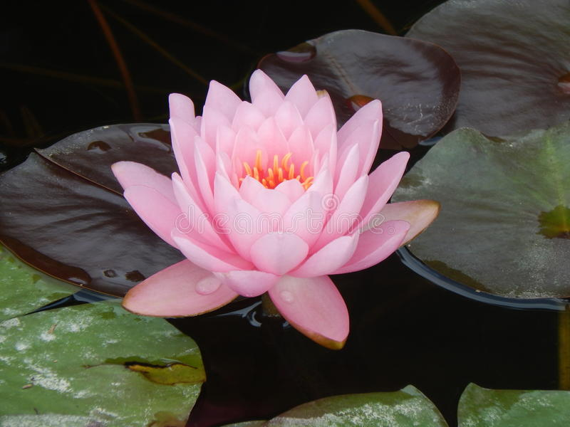 Roze lotusbloembloesem royalty-vrije stock afbeeldingen