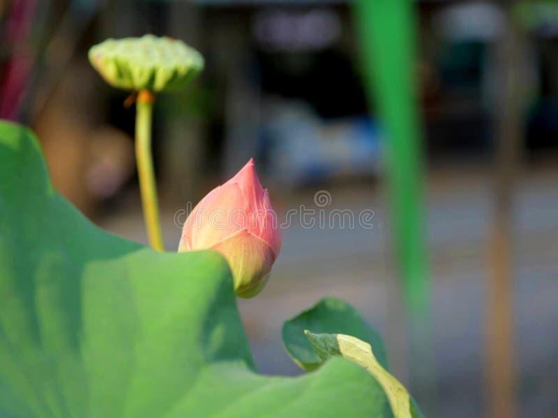 Roze lotusbloemknop met zaad achter groen blad in de vijver stock foto