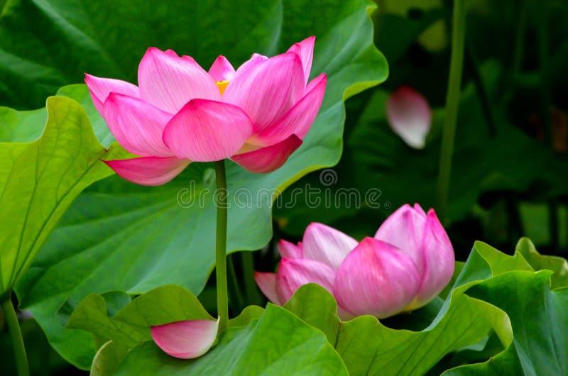 Roze lotuses royalty-vrije stock foto's