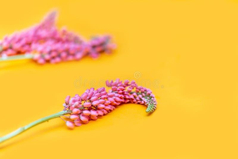 Roze lupinebloem op gele achtergrond de exemplaarruimte selecteerde nadruk stock afbeelding
