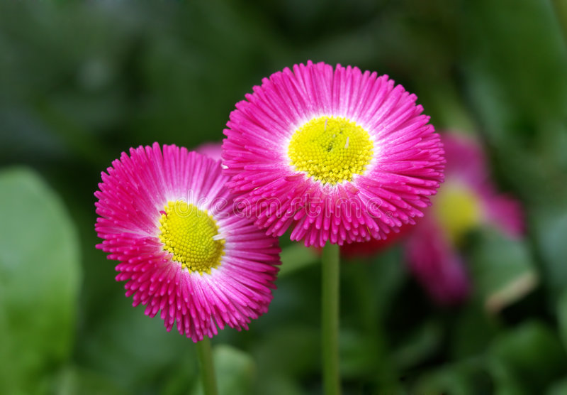 Roze madeliefje royalty-vrije stock foto