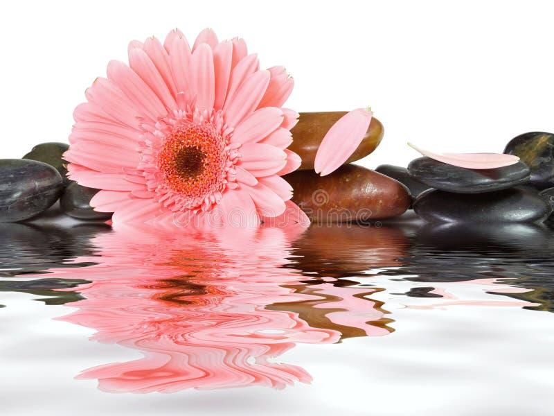 Roze madeliefje en kuuroordstenen royalty-vrije stock afbeeldingen