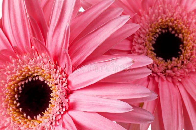 Roze madeliefjes royalty-vrije stock fotografie