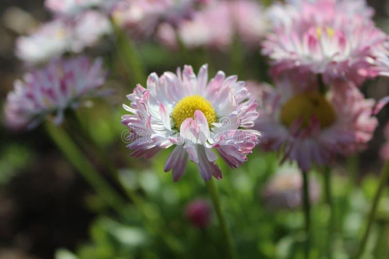 Roze madeliefjes op groene achtergrond in tuin stock fotografie