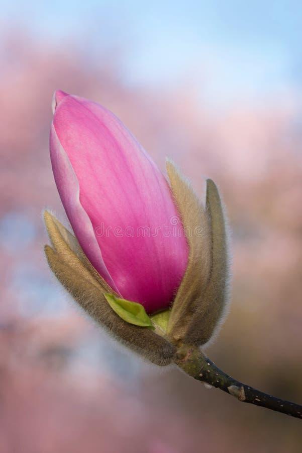 Roze magnoliaknop met onscherpe achtergrond royalty-vrije stock fotografie
