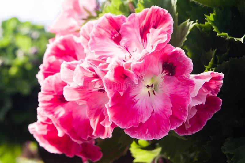 Roze Martha Washington-geraniums stock afbeelding