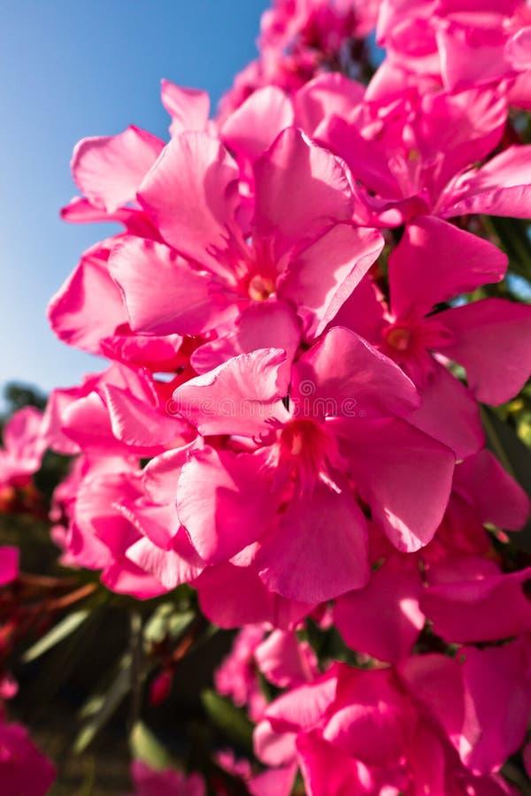 Roze mediterrane bloemen op een ochtendzonneschijn royalty-vrije stock foto's