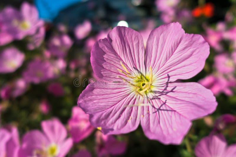Roze mediterrane bloemen op een ochtendzonneschijn in Sithonia stock afbeeldingen