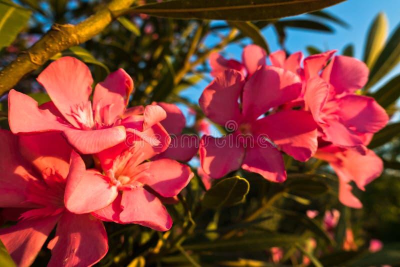 Roze mediterrane bloemen op ochtendzonneschijn royalty-vrije stock fotografie