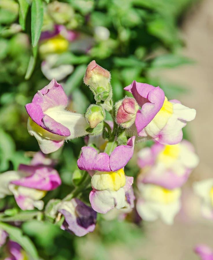 Roze met gele Leeuwebekken, draakbloemen of leeuwebekken stock foto