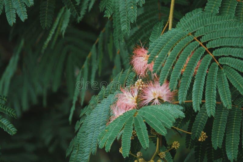 Roze Mimosabloem stock foto