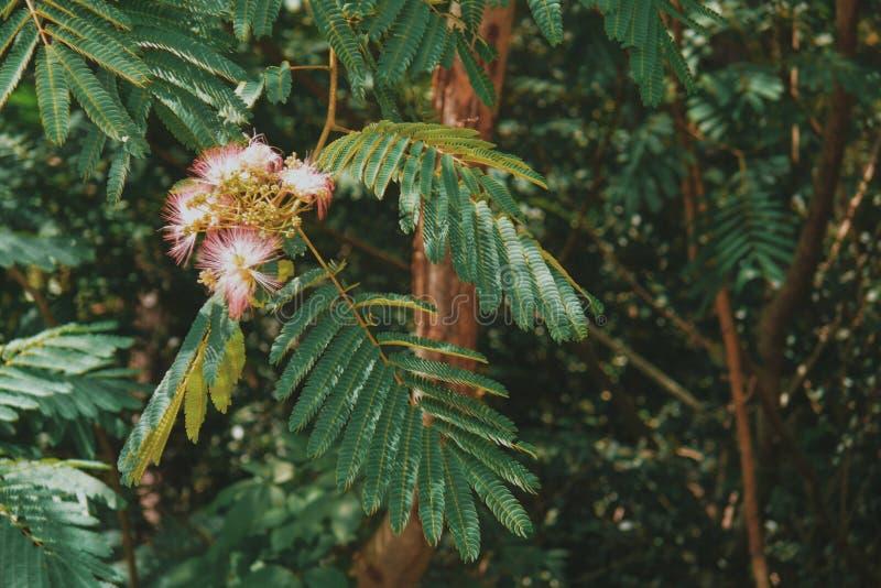 Roze Mimosabloem royalty-vrije stock foto