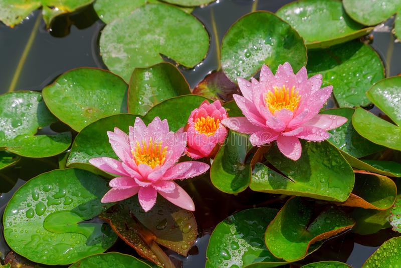 Roze mooie lotusbloembloem in kleurrijke waterlelie stock afbeelding
