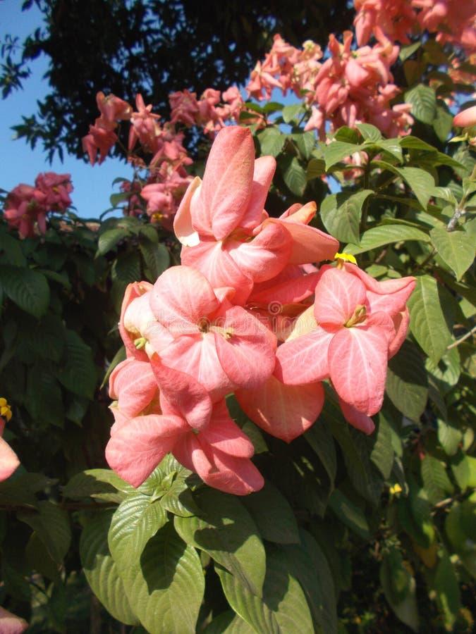 Roze mussaendabloemen stock afbeelding