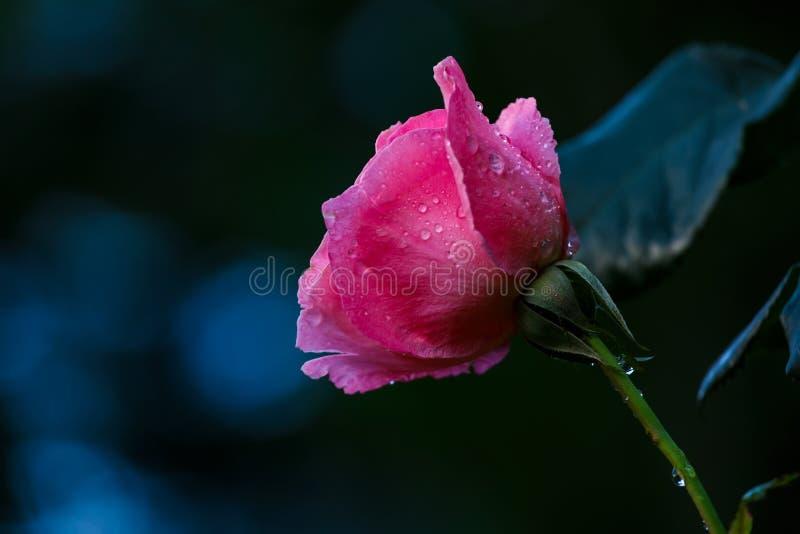 Roze nam bloem na regen toe stock foto's