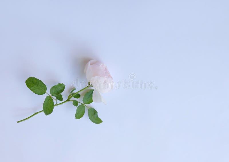Roze nam bloemblaadjes op witte achtergrond voor valentijnskaartendag die worden geïsoleerd toe stock afbeelding