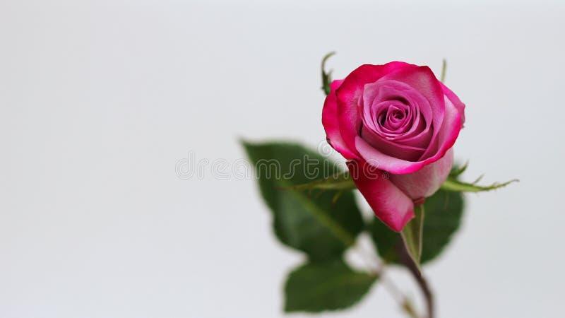 Roze nam Close-up toe Selectieve nadruk Gelukwensen op uw verjaardag, 8 Maart of Women& x27; s dag Ruimte om tekst op te nemen royalty-vrije stock fotografie