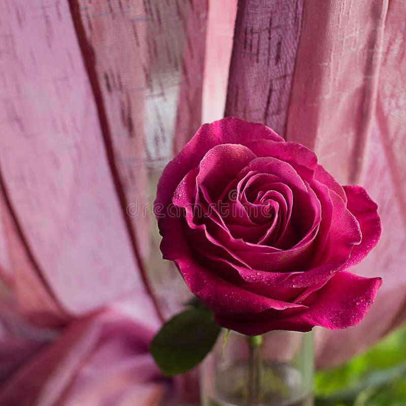 Roze nam in dalingen dichte omhooggaand toe van regen op een vierkante vage achtergrond De samenstelling van de bloem stock afbeelding