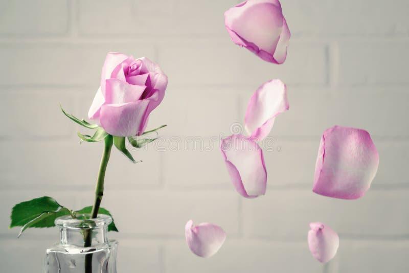 Roze nam in een vaas met dalende bloemblaadjes toe tegen de achtergrond van een witte muur Tederheid, breekbaarheid, eenzaamheid, royalty-vrije stock foto