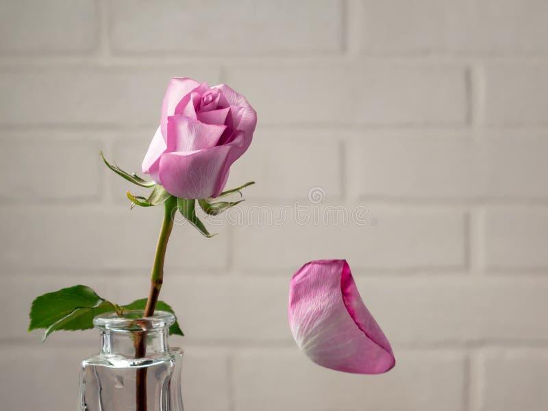 Roze nam in een vaas met dalende bloemblaadjes toe tegen de achtergrond van een witte muur Tederheid, breekbaarheid, eenzaamheid, stock afbeeldingen