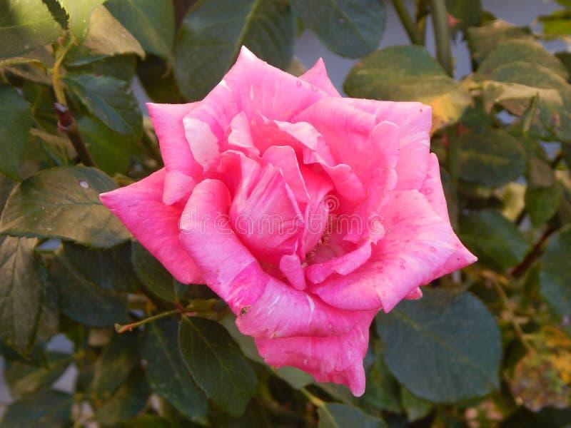 Roze nam in Gheorgheni toe royalty-vrije stock afbeelding