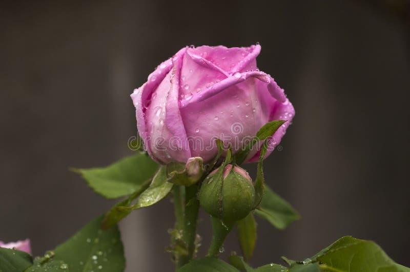 Download Roze nam knoppen toe stock afbeelding. Afbeelding bestaande uit rose - 54082697