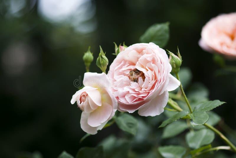 Roze nam met bij toe royalty-vrije stock afbeelding