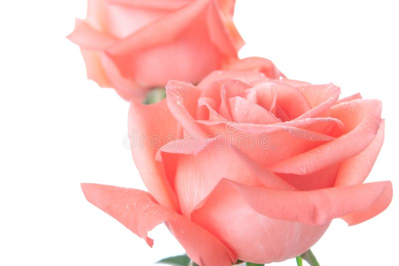 Roze nam met exemplaarruimte toe - Waterdaling op de roze bloem stock fotografie