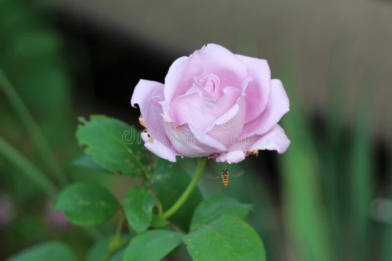 Roze nam met gedeeltelijk gesloten bloemblaadjes toe die bij randen met het kleine die bij vliegen naar het beginnen te vernietig royalty-vrije stock afbeeldingen