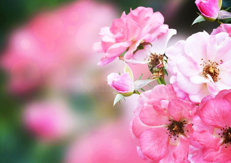Roze nam, mooie bloemachtergrond toe stock afbeelding