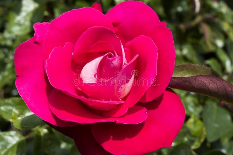 Roze nam na regen in tuin toe stock afbeeldingen