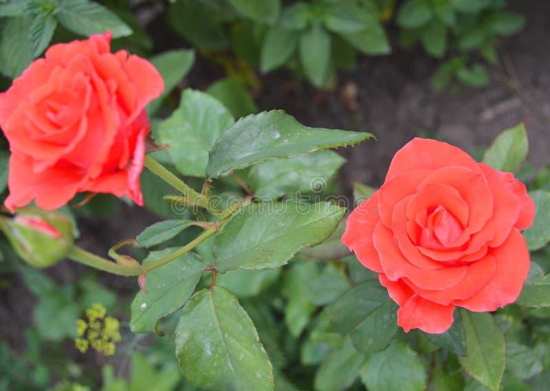 Roze nam op achtergrond roze rozenbloemen toe stock afbeeldingen