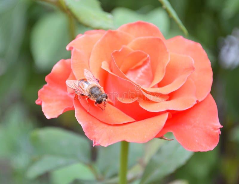 Roze nam op achtergrond roze rozenbloemen toe nave royalty-vrije stock afbeelding