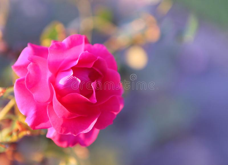 Roze nam op de zomerdag toe stock fotografie