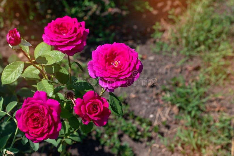 Roze nam op een achtergrond van groen park toe Roze nam close-up op een struik in het park toe royalty-vrije stock afbeeldingen