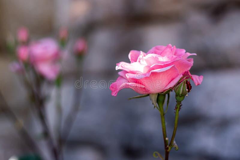 Roze nam tijdens de lente van 2019 in een tuin toe stock foto's