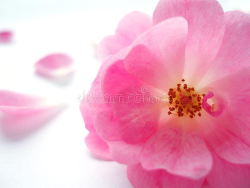 Download Roze nam toe stock foto. Afbeelding bestaande uit potpourri - 281196