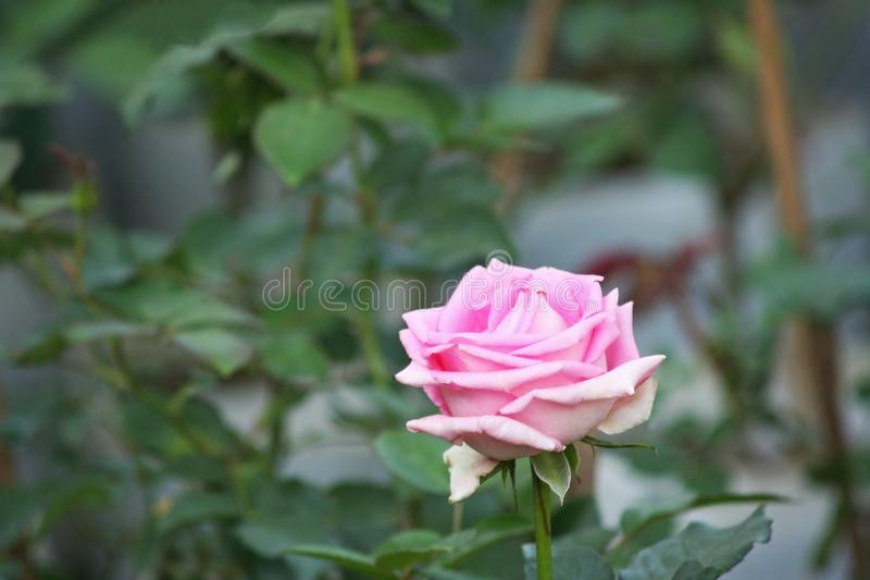 Roze nam in tuin toe stock foto's