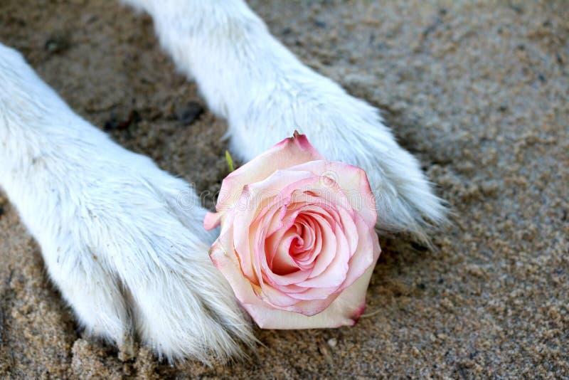 Roze nam tussen de poten van een malamutehond toe royalty-vrije stock foto's