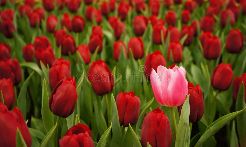 Roze nam tussen rode rozen toe royalty-vrije stock afbeeldingen