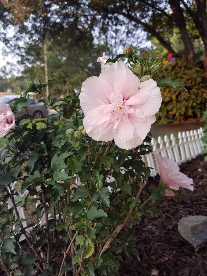 Roze nam van Sharon toe stock afbeelding