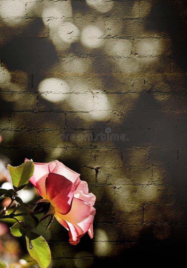 Roze nam voor een bakstenen muur in sepia toe royalty-vrije stock afbeeldingen