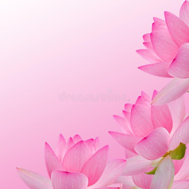 Roze nuphar die bloem, waterlelie, vijver-lelie, spatterdock, Nelumbo-nucifera, ook als Indische lotusbloem, heilige lotusbloem w stock foto