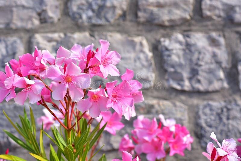 Roze oleander royalty-vrije stock afbeeldingen