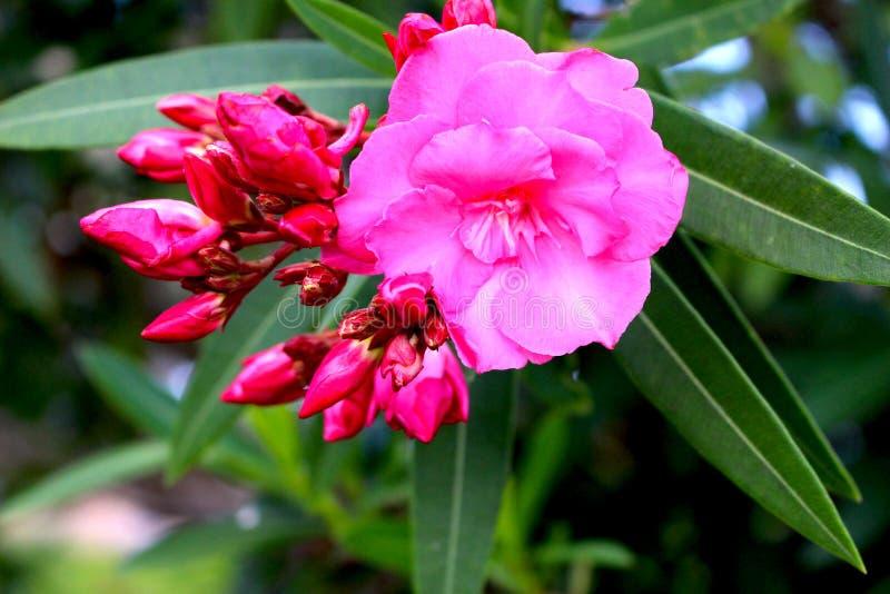 Roze Oleanderbloem met Knoppen royalty-vrije stock foto