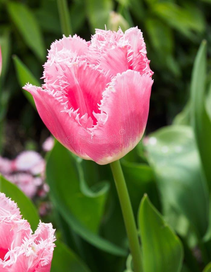 Roze omzoomd tulpenhoofd tegen onscherpe achtergrond royalty-vrije stock fotografie
